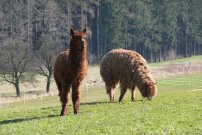 lama hnědá s bilým čumákem vpravo