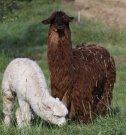 Suri a její mládě
