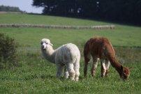 mládě bílé a alpaka sv. hnědá s bílým čumákem