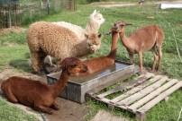 Lamy se rády v horku koupou. Obsadili nádrž husám.....