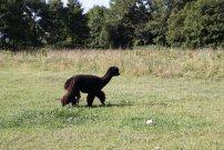 lama černá
