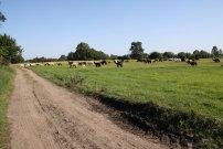 lamy ráno na pastvě