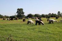 lamy na pastvě