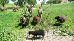 i ovečky se přidají