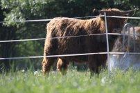 kráva za ohradnikem