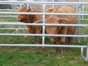 krávy v ohradě při očkováni